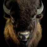 bisonokse trofæmontering